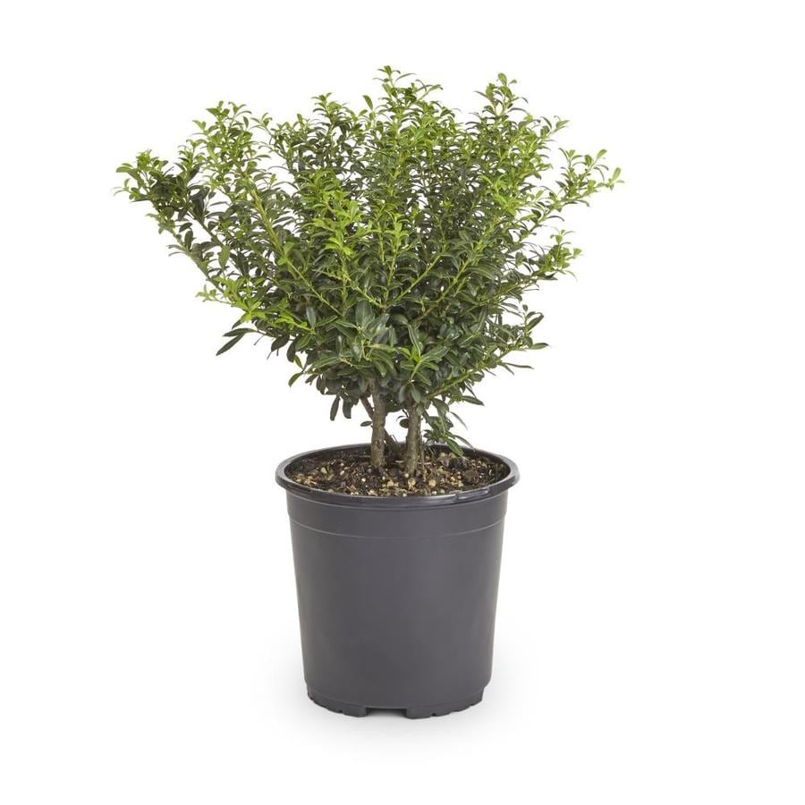 2-Quart White Soft Touch Compact Holly Foundation/Hedge Shrub (L7165)