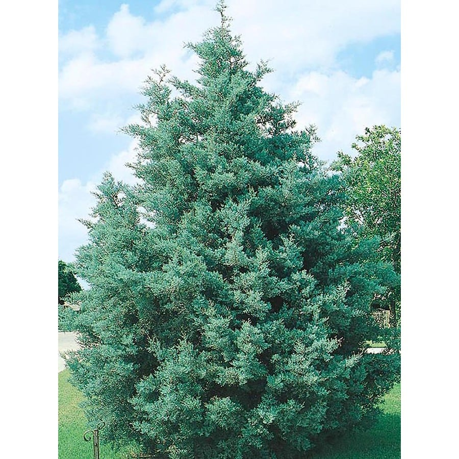 3.25-Gallon Arizona Cypress Screening Tree (L5089)