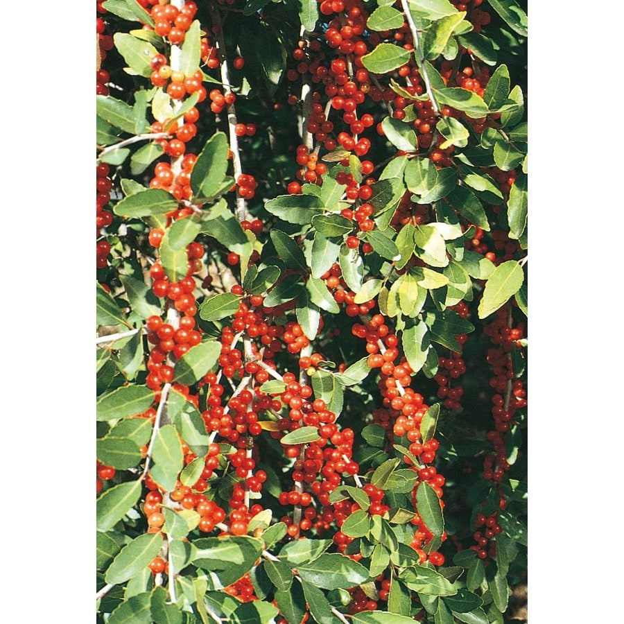 8.75-Gallon Pride of Houston Yaupon Holly Feature Shrub (L3522)