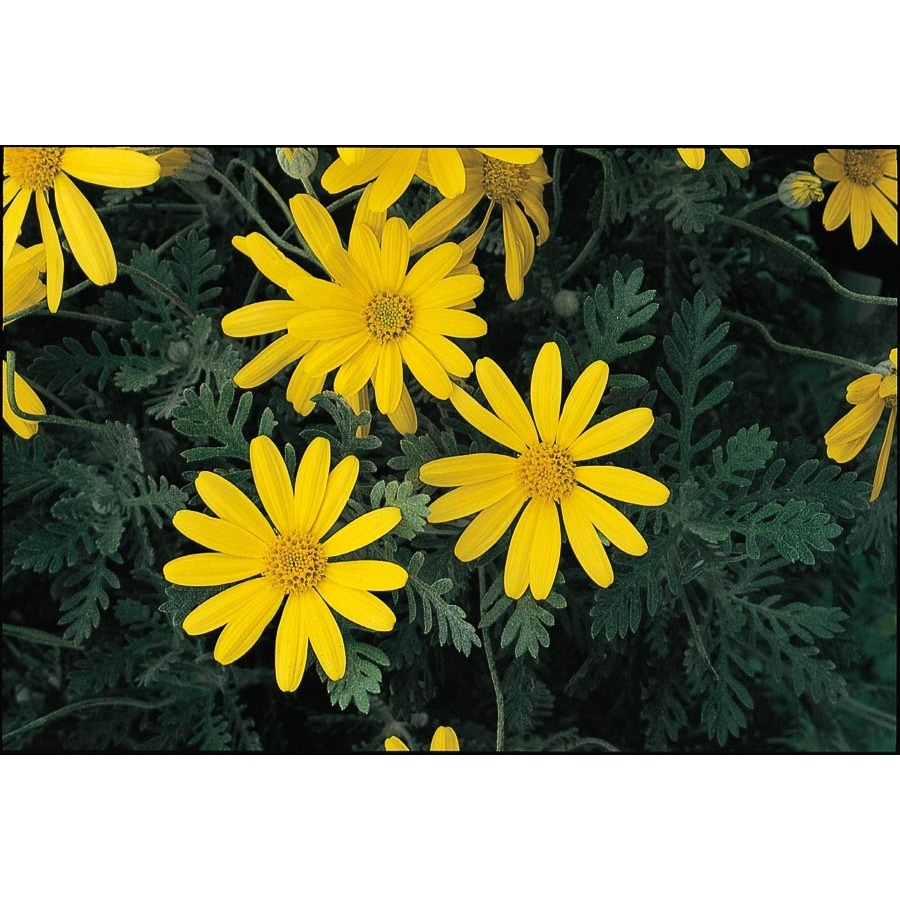 2.5--Quart Bush Daisy (L10442)