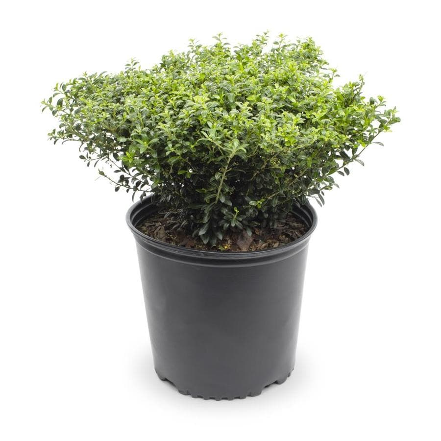 2.25-Gallon Soft Touch Compact Holly Foundation/Hedge Shrub (L7165)