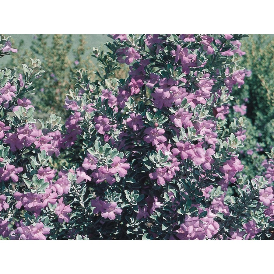 1-Gallon Purple Texas Sage Flowering Shrub (L3562)