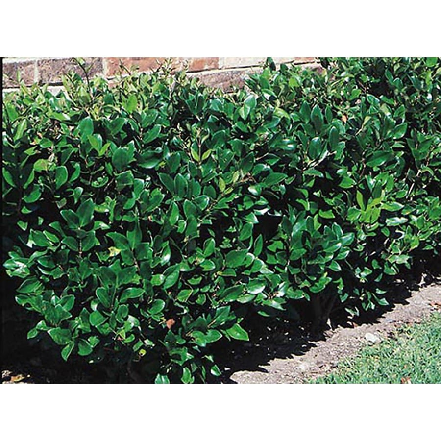 3 Gallon White Waxleaf Ligustrum Foundation Hedge Shrub In Pot L3255