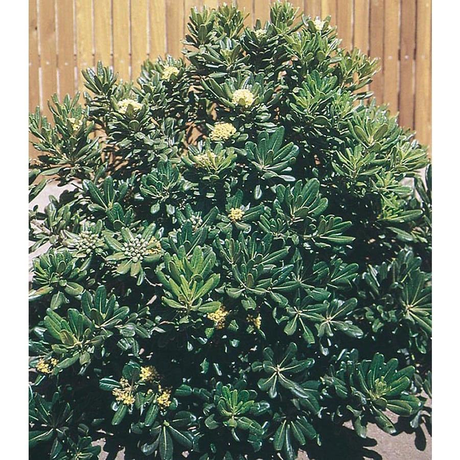 2.5-Quart White Green Pittosporum Foundation/Hedge Shrub (L10905)