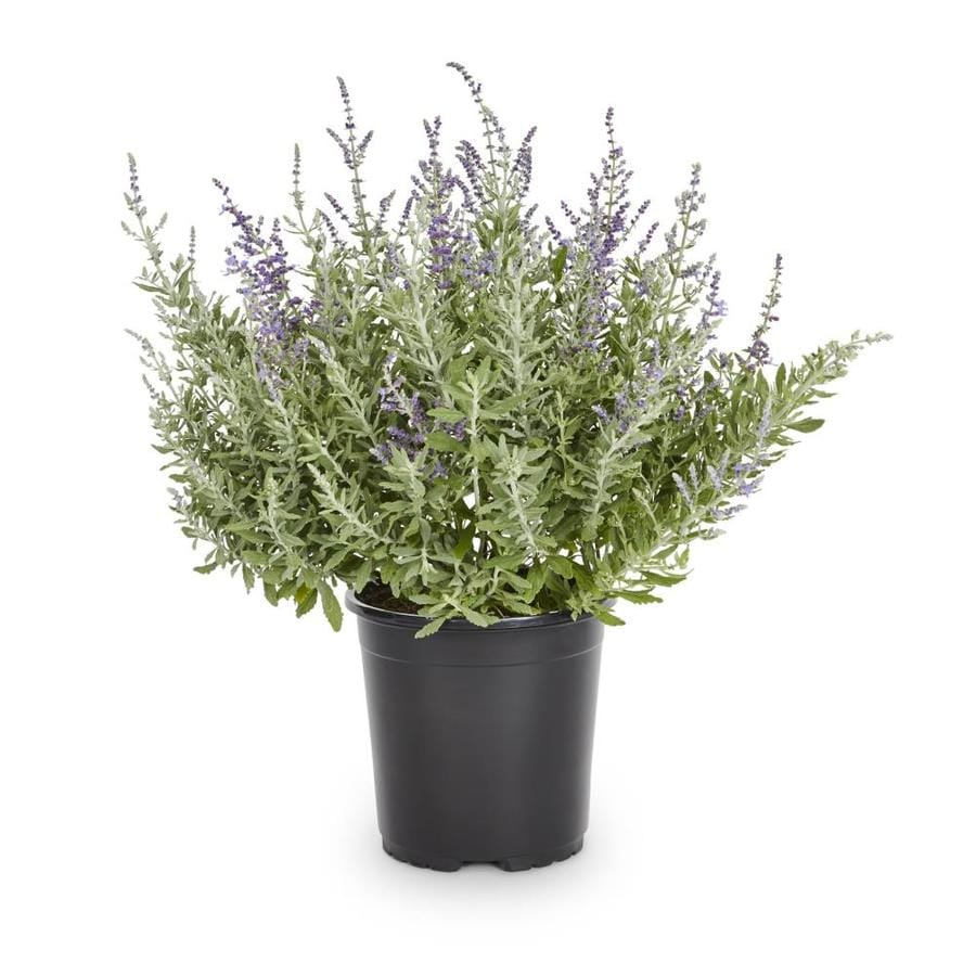 2.5-Quart Purple Silverado Sage Flowering Shrub (L8621)
