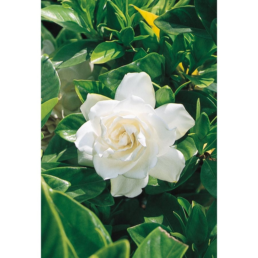 2-Gallon White August Beauty Gardenia Flowering Shrub (L3497)