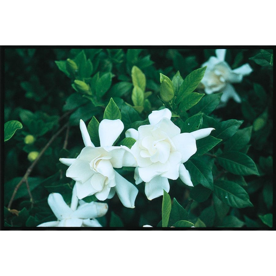 2.5-Quart White Frost Proof Gardenia Flowering Shrub (LW00231)