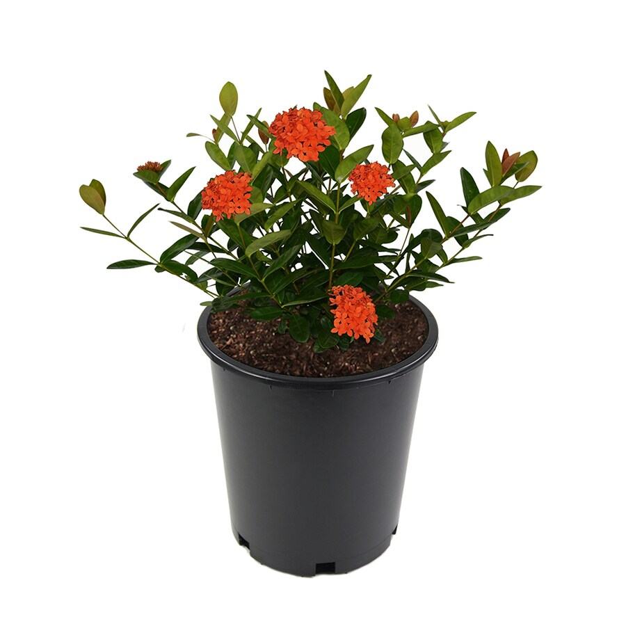2.5-Quart Mixed Ixora Flowering Shrub