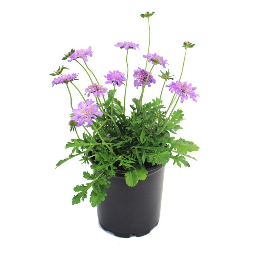 2.5-Quart Container Perennial