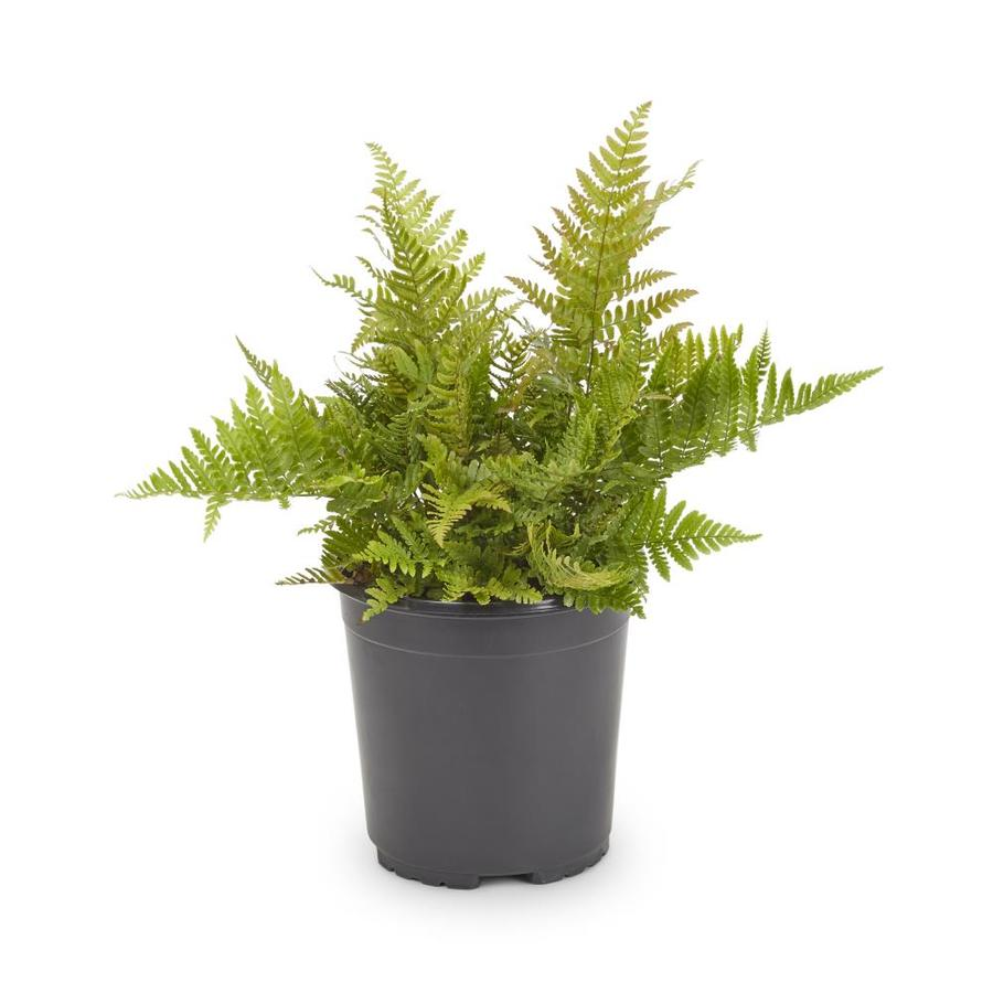 2.5-Quart Container Fern