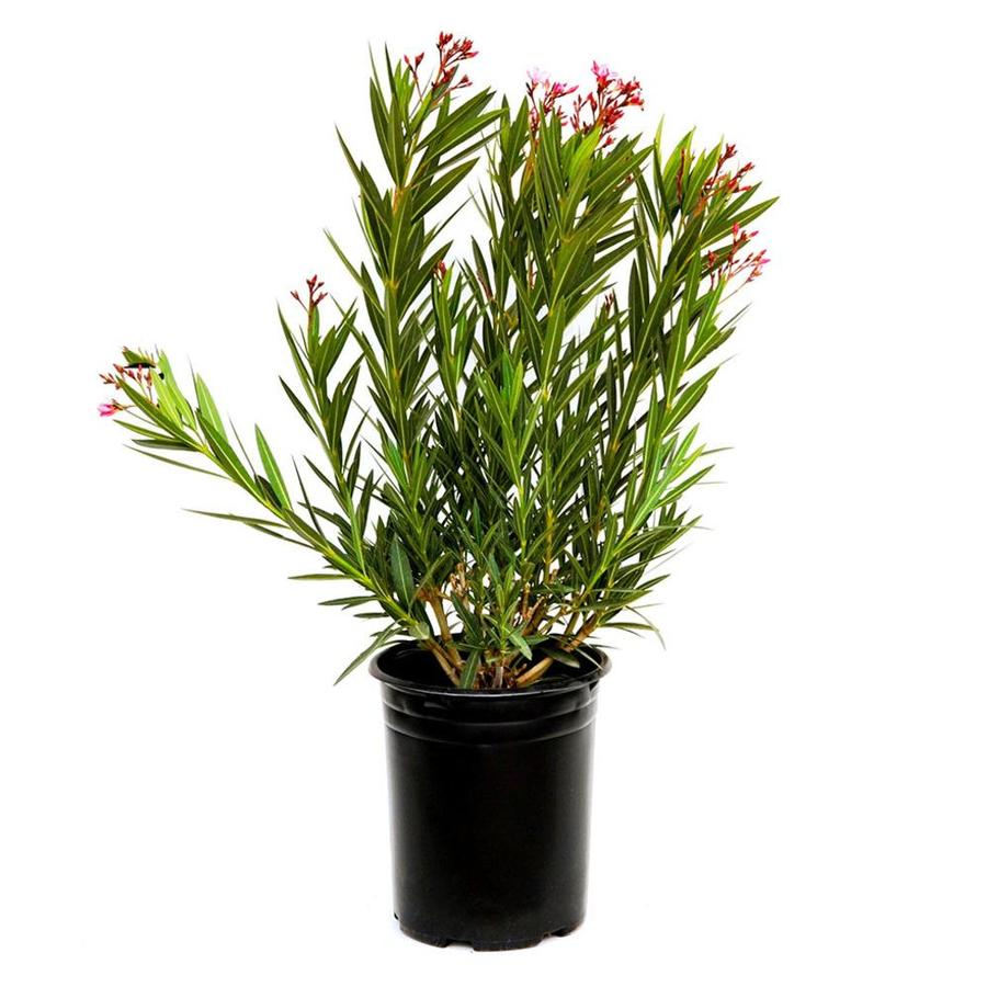 2.25-Gallon Mixed Oleander Flowering Shrub