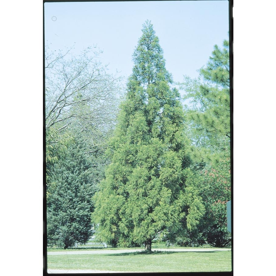 5.5-Gallon Cryptomeria Feature Tree (L2624)