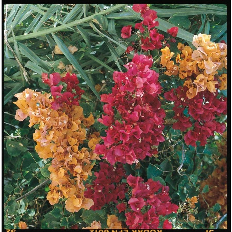 2-Quart Multicolor Hybrid Bougainvillea Flowering Shrub (L5710)