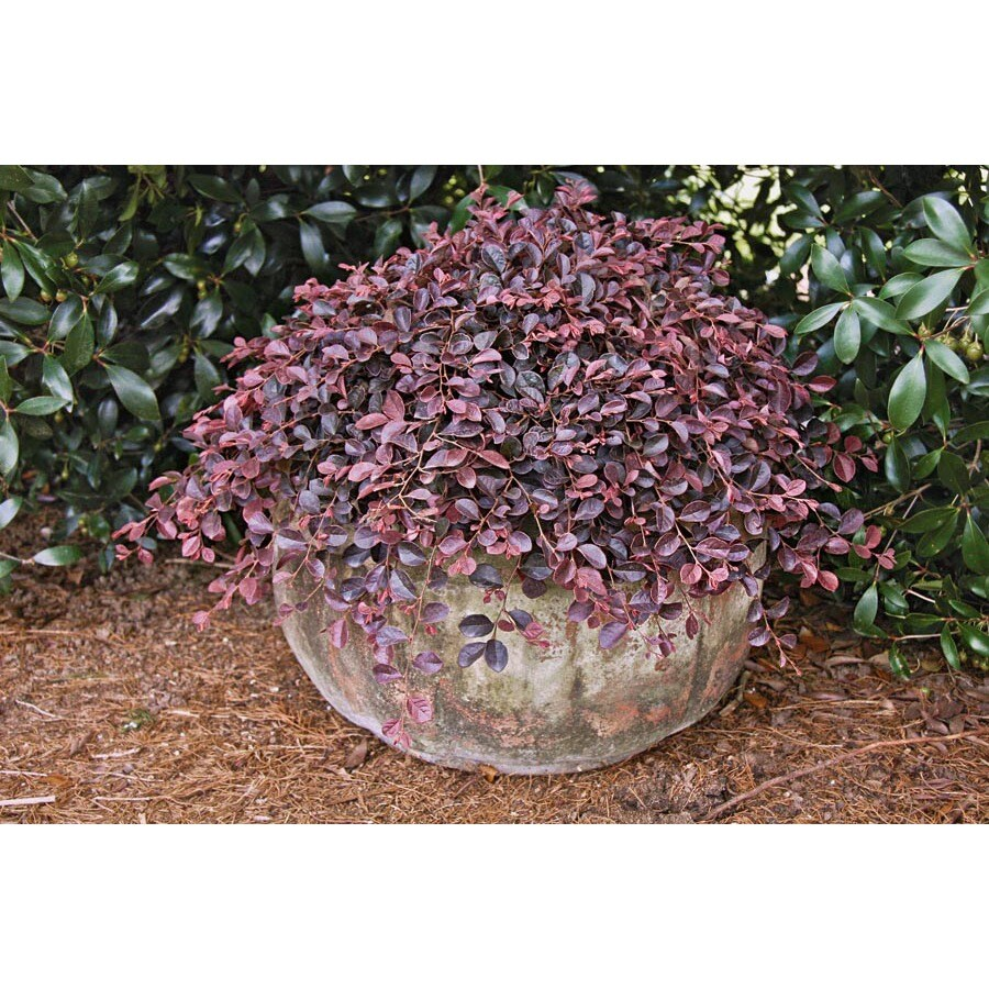 2-Gallon Pink Purple Pixie; Loropetalum Accent Shrub (L23335)