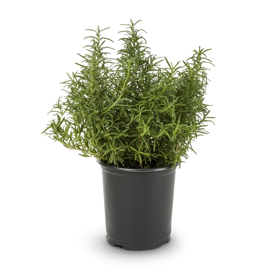 2.5-Quart Blue Rosemary Accent Shrub (L7037)