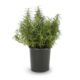 Blue Rosemary Accent Shrub in Pot (With Soil) (L7037)
