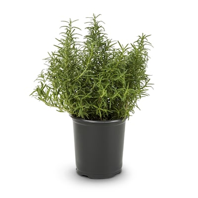 Blue Rosemary Accent Shrub In Pot With Soil L7037 At Lowes Com