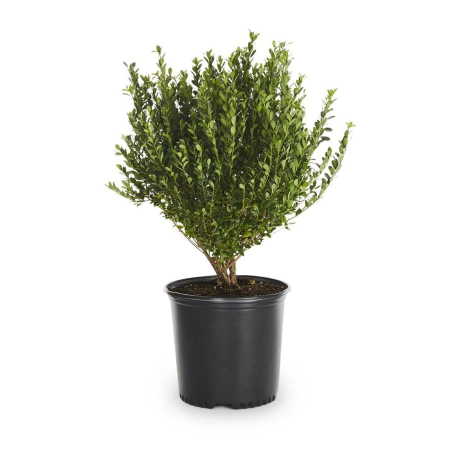 2.25-Quart Compact Japanese Holly Foundation/Hedge Shrub (L5284)