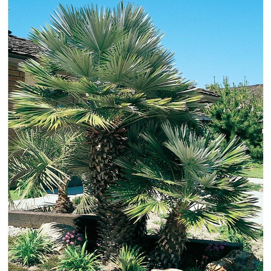 2.25-Gallon European Fan Palm (L9064)