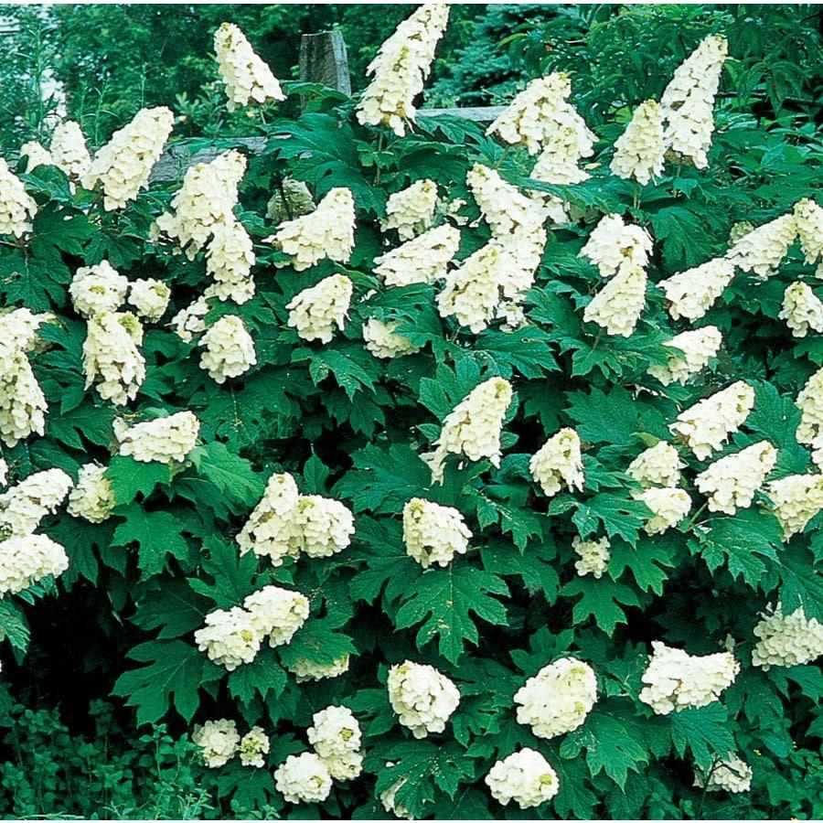 3-Gallon White Oakleaf Hydrangea Flowering Shrub (L1233)