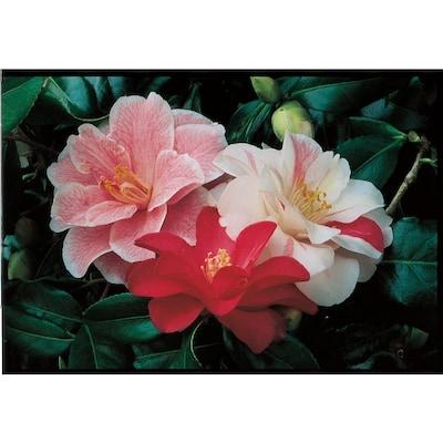 2 25-Gallon Multicolor Camellia Flowering Shrub in Pot