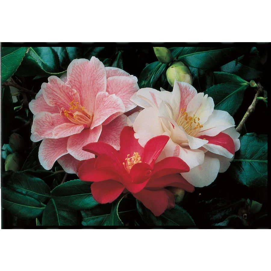 2-Quart Multicolor Sasanqua Camellia Flowering Shrub (L5699)