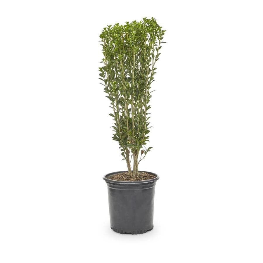 2-Quart White Sky Pencil Japanese Holly Feature Shrub (L11293)