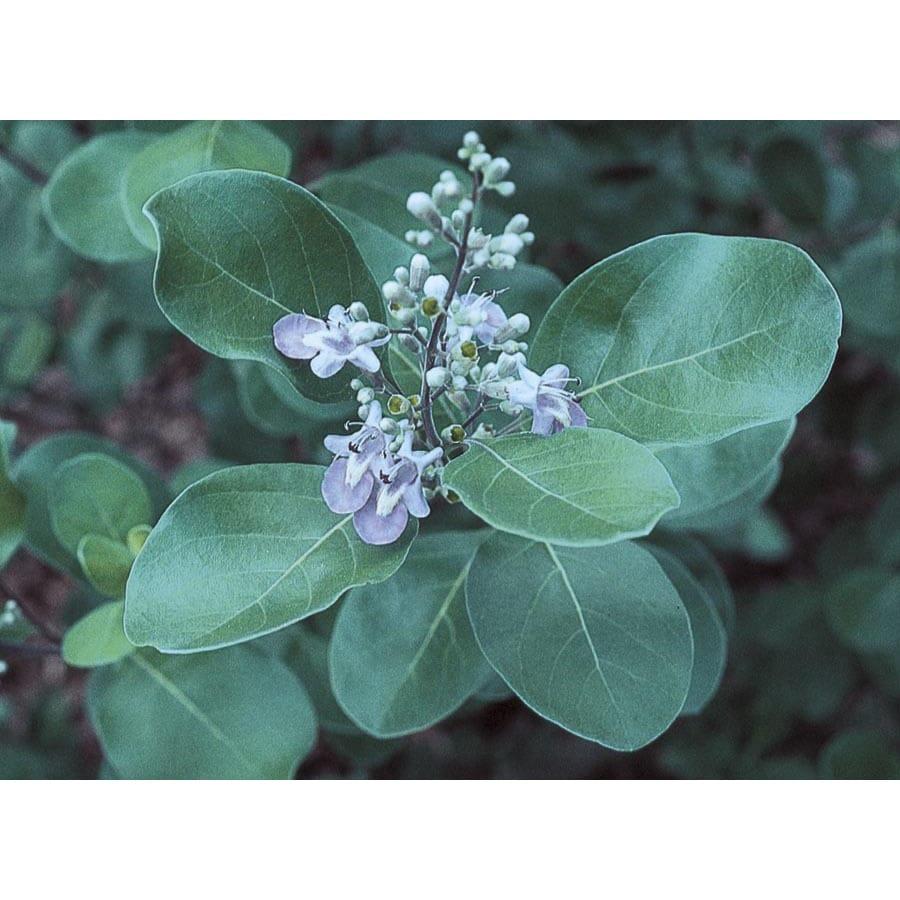 3.25-Gallon Blue Chaste Tree Accent Shrub (L7195)