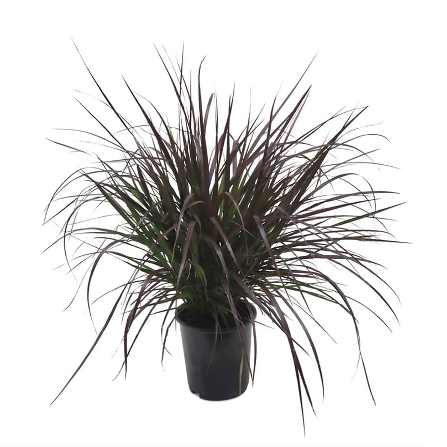 2.5-Quart Purple Fountain Grass (L8564)