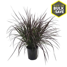 Ornamental Grasses Colorado Shop ornamental grasses at lowes 25 quart purple fountain grass l8564 workwithnaturefo