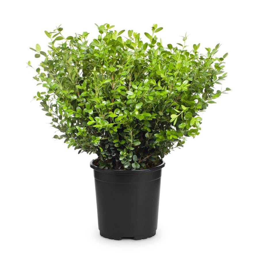 2-Quart White Winter Gem Boxwood Foundation/Hedge Shrub (L3447)
