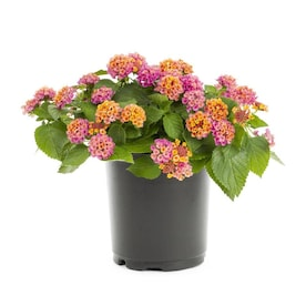 2.5-Quart in Pot Lantana (L6708)