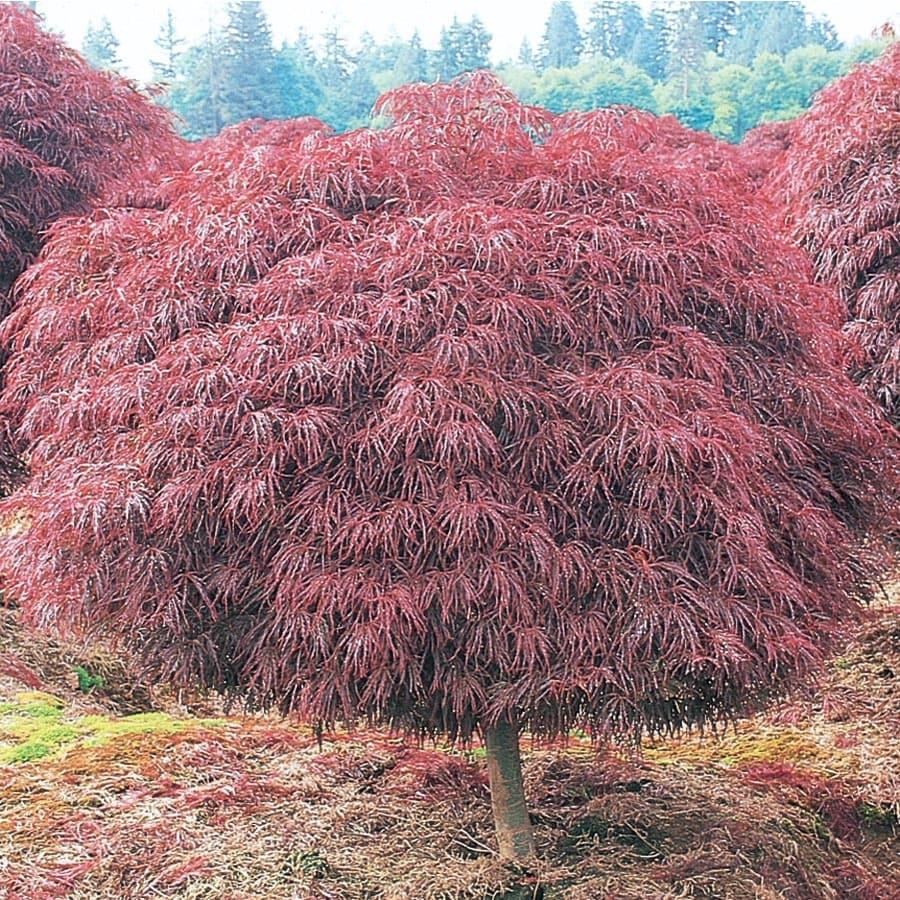 5.5-Gallon Crimson Queen Japanese Maple Feature Tree (L4164)