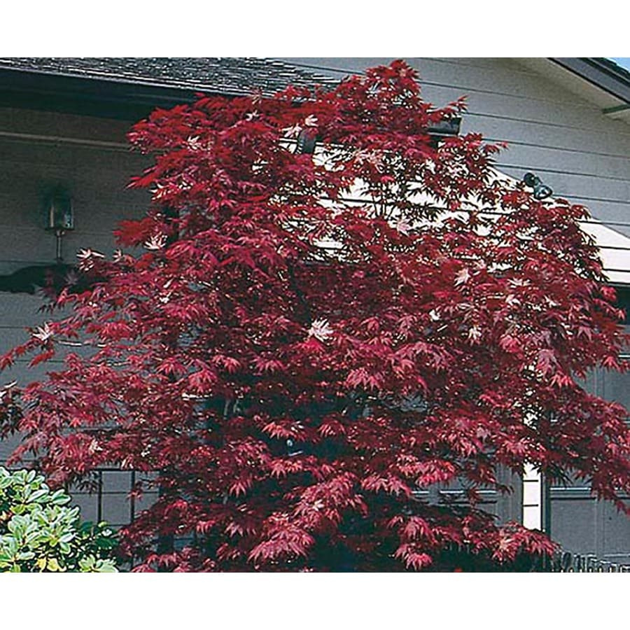 5.5-Gallon Assorted Upright Japanese Maple Feature Tree (L5413)