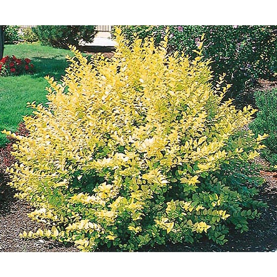 2-Gallon White Golden Vicary Privet Foundation/Hedge Shrub (L9296)