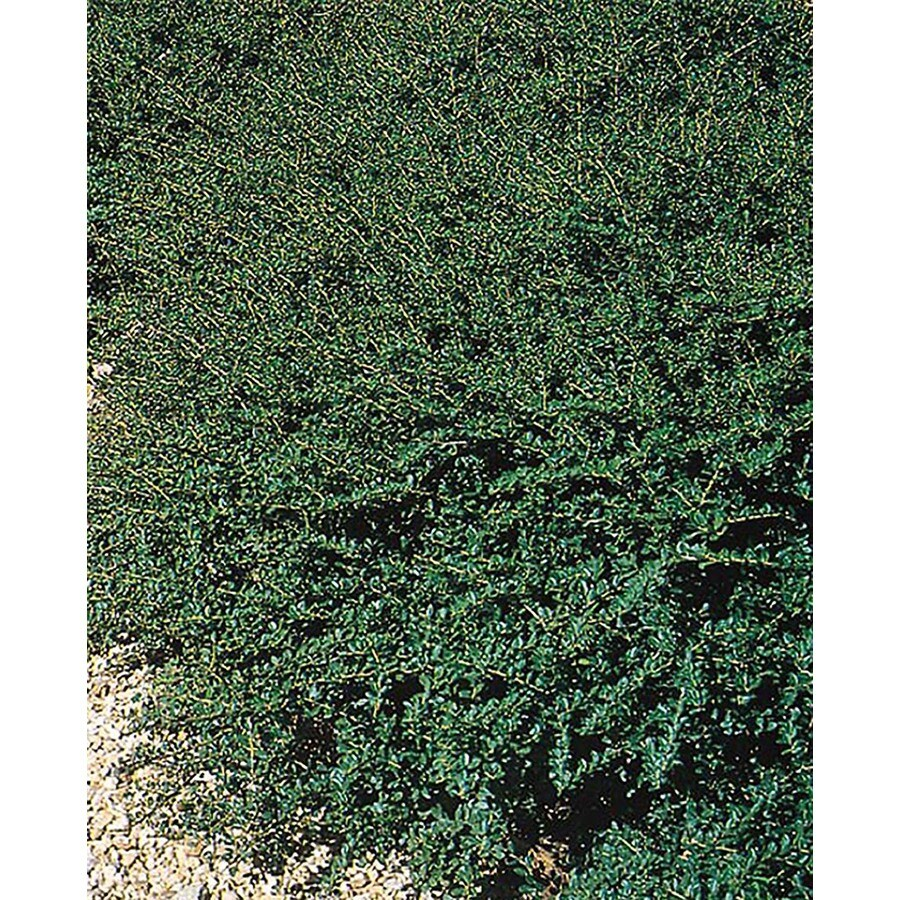 2.25-Gallon Green Luster Holly Foundation/Hedge Shrub (L2559)