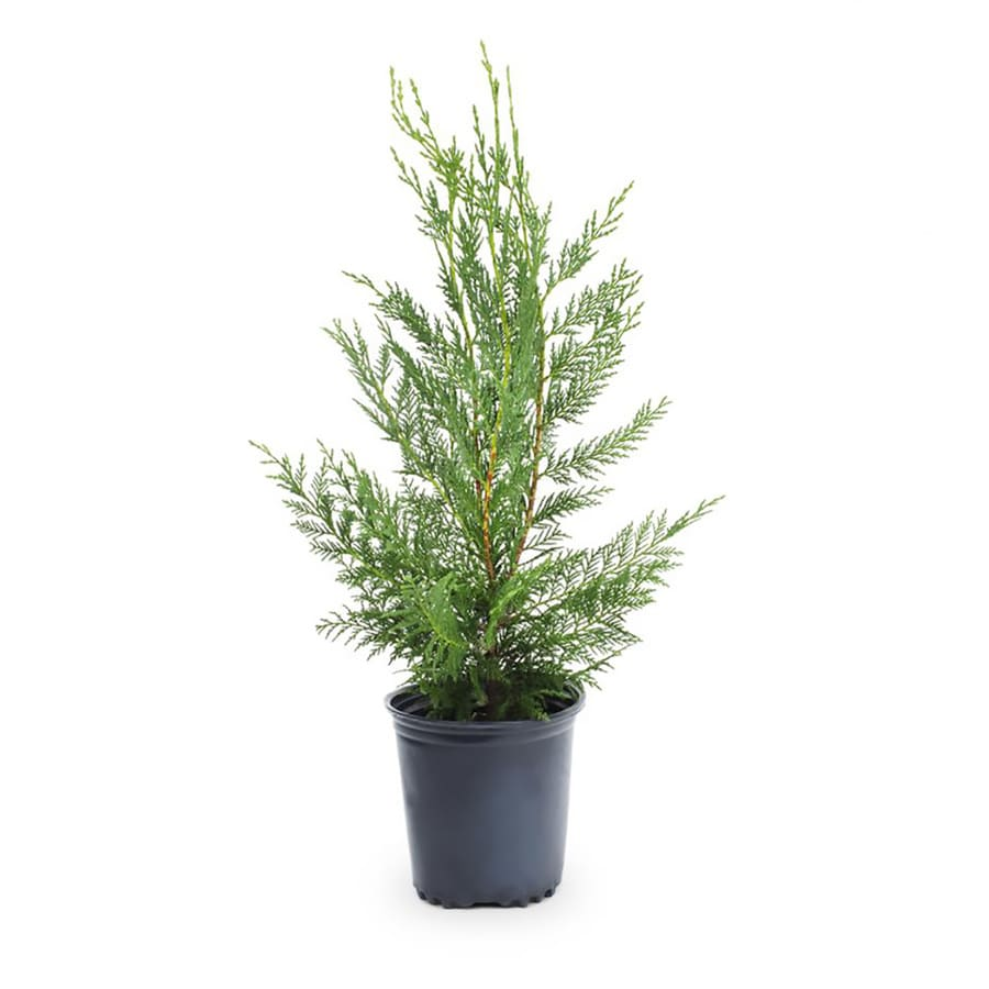 2 5 Quart Leyland Cypress Screening Tree In Pot With Soil L3153