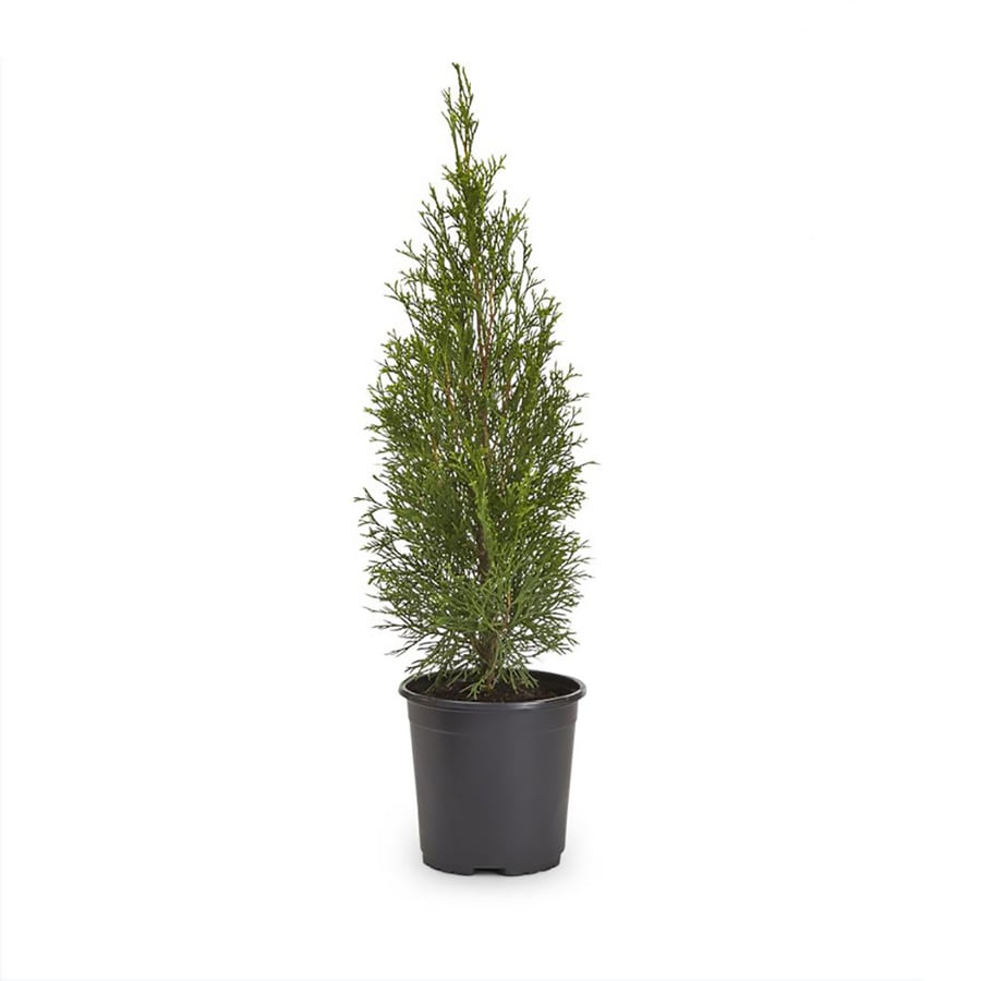 2-Quart Emerald Green Arborvitae Screening Shrub (L5480)