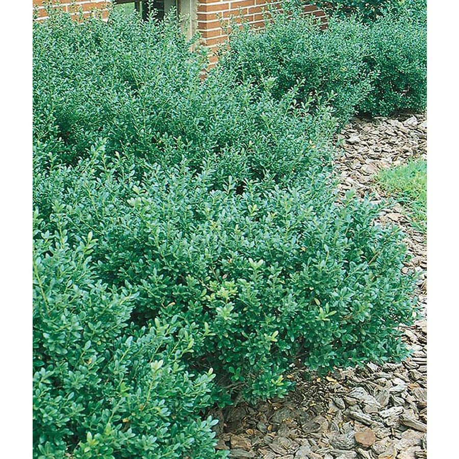 5-Gallon White Compact Japanese Holly Foundation/Hedge Shrub (L5284)