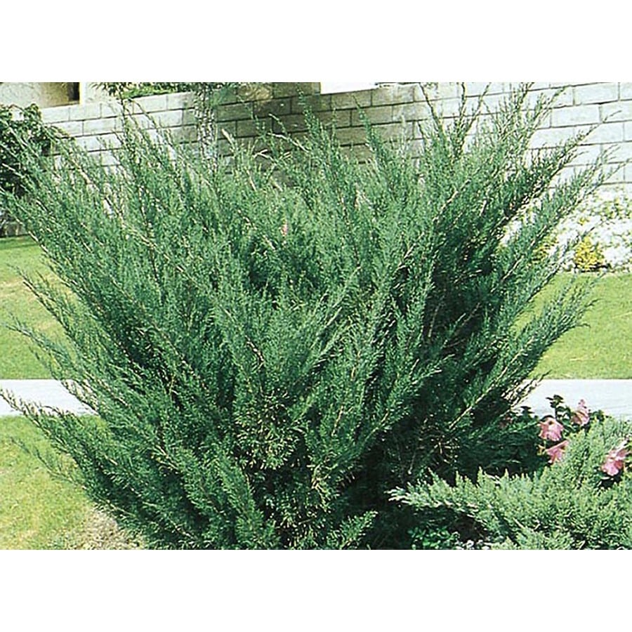 2-Gallon Sea Green Juniper Accent Shrub (L3045)