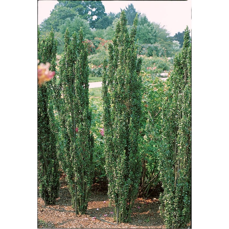 6.08-Gallon Sky Pencil Japanese Holly Feature Shrub (L11293)