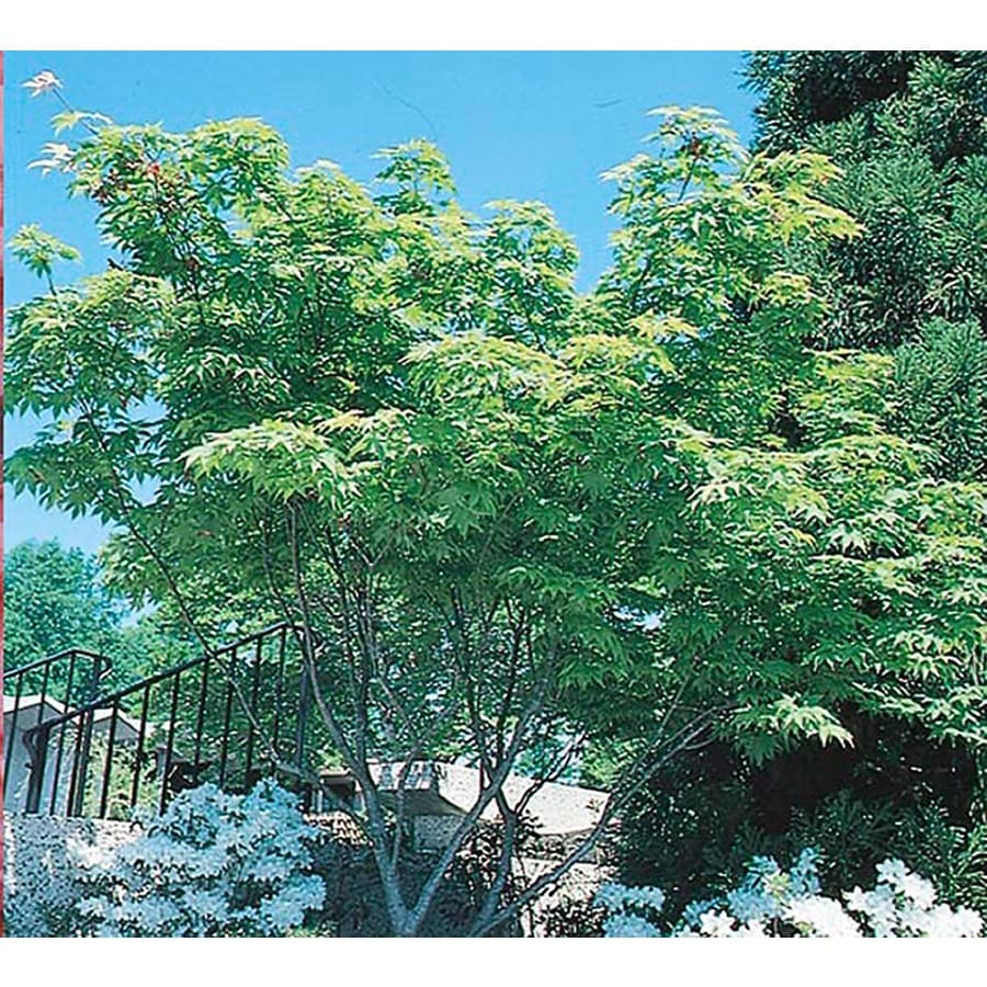 5.5-Gallon Japanese Maple Feature Tree (L4163)