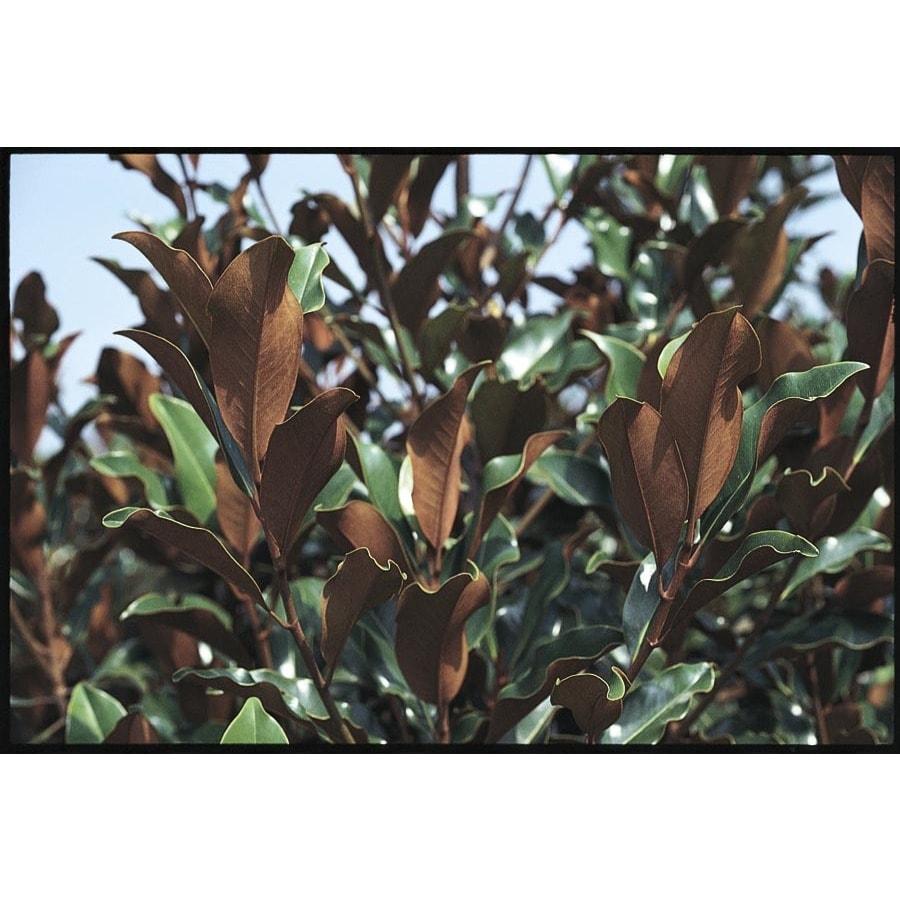 5.5-Gallon Bracken's Brown Beauty Magnolia Flowering Tree (L21566)