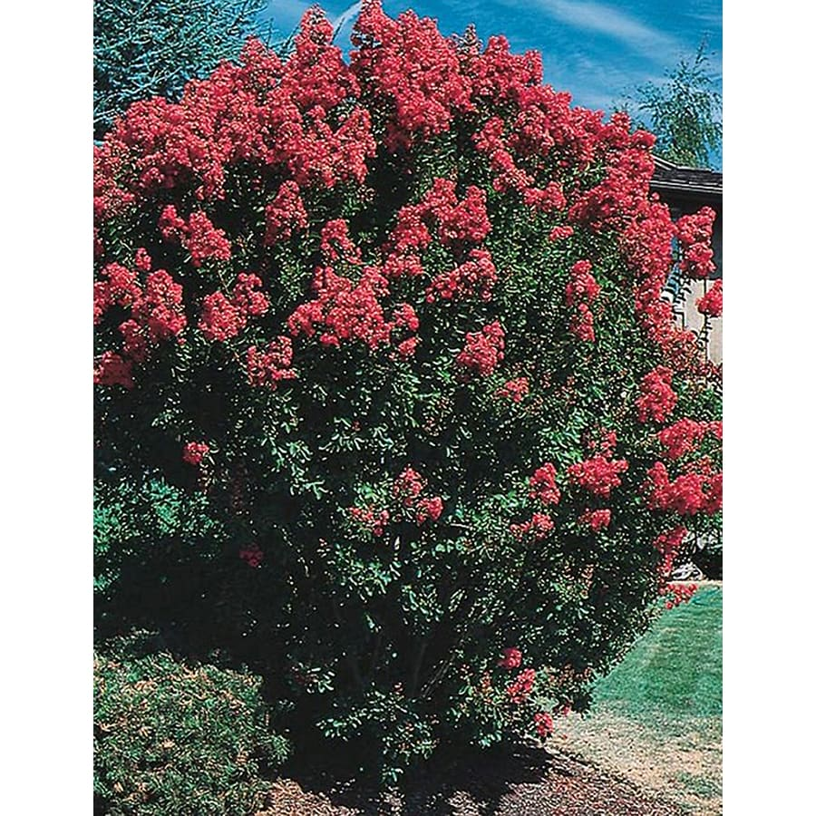 10.25-Gallon Crape Myrtle Flowering Tree (L6644)