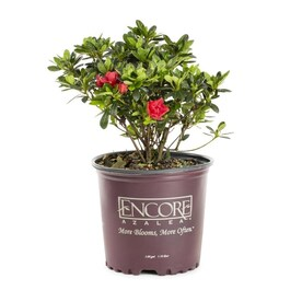 Encore Azalea 1-Gallon Multicolor Azalea Flowering Shrub in Pot