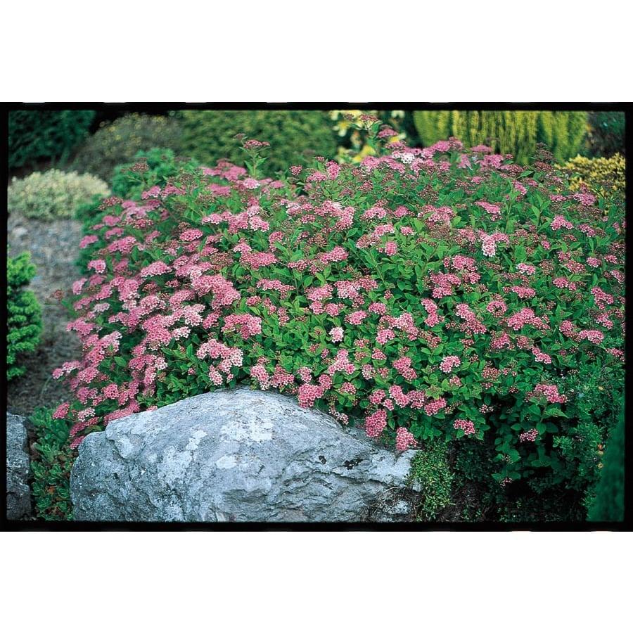 2-Gallon Pink Little Princess Spirea Flowering Shrub (L3749)