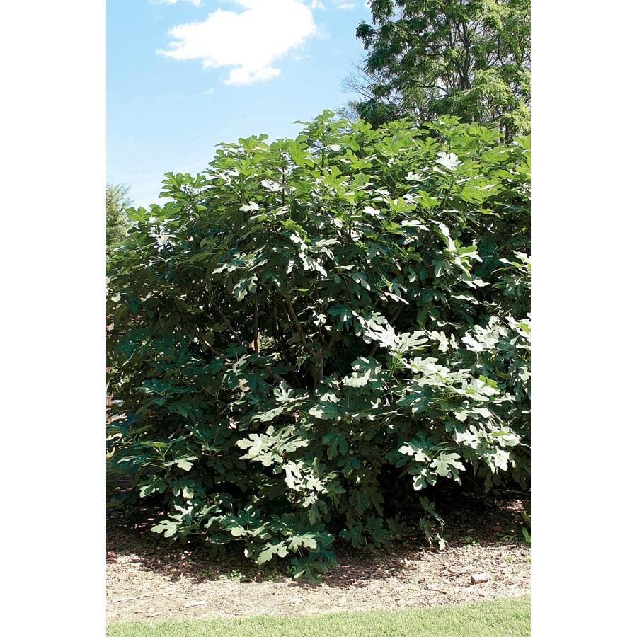 15-ft Ficus Carica Tree (L5982)