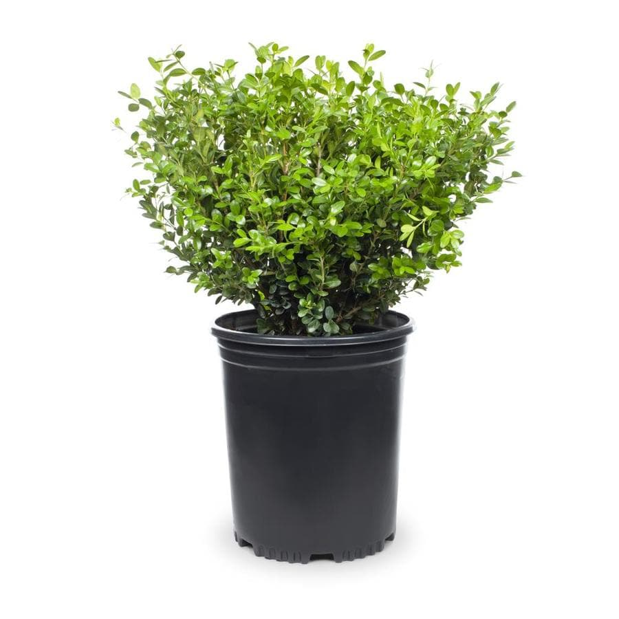 2-Gallon White Winter Gem Boxwood Foundation/Hedge Shrub (L3447)