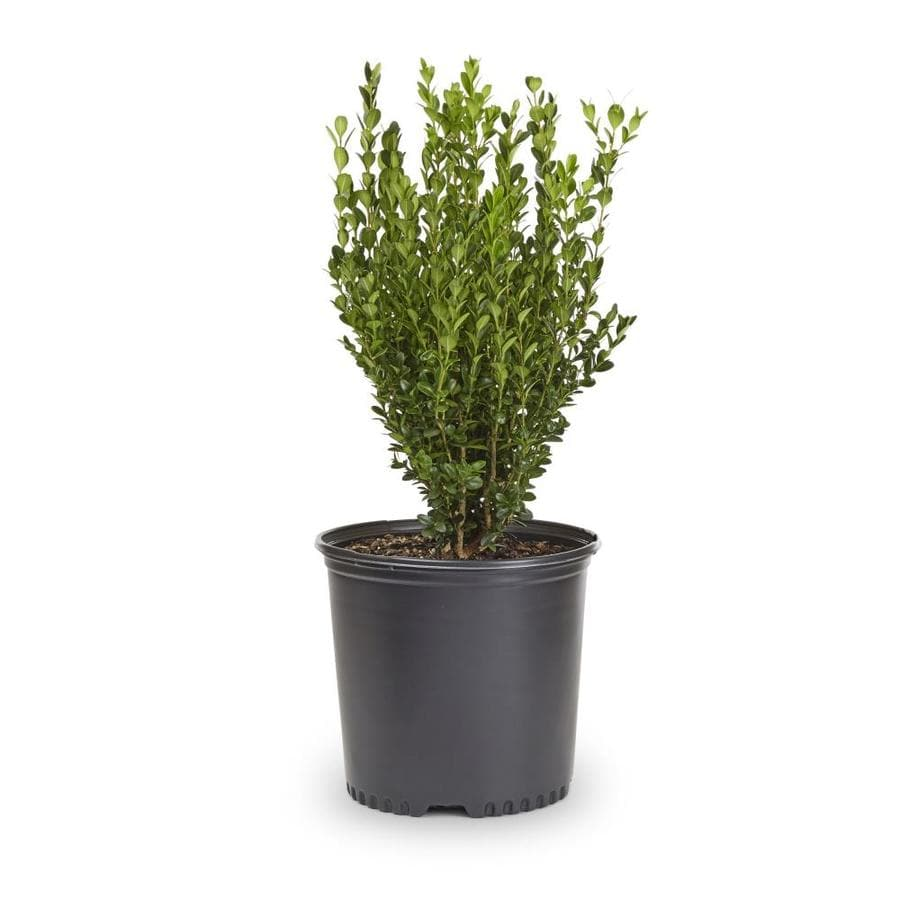 2.25-Gallon Wintergreen Boxwood Foundation/Hedge Shrub (L3448)