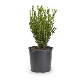 2-Gallon White Wintergreen Boxwood Foundation/Hedge Shrub in Pot (L3448)